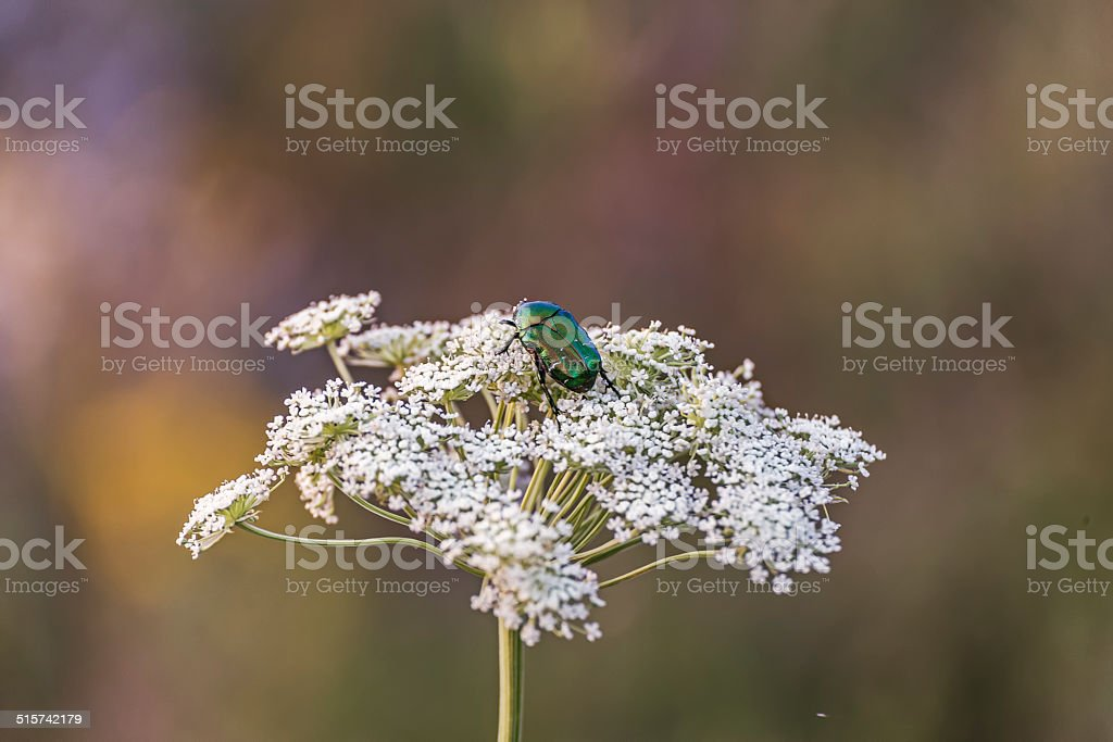 green beetle on white flower. stock photo