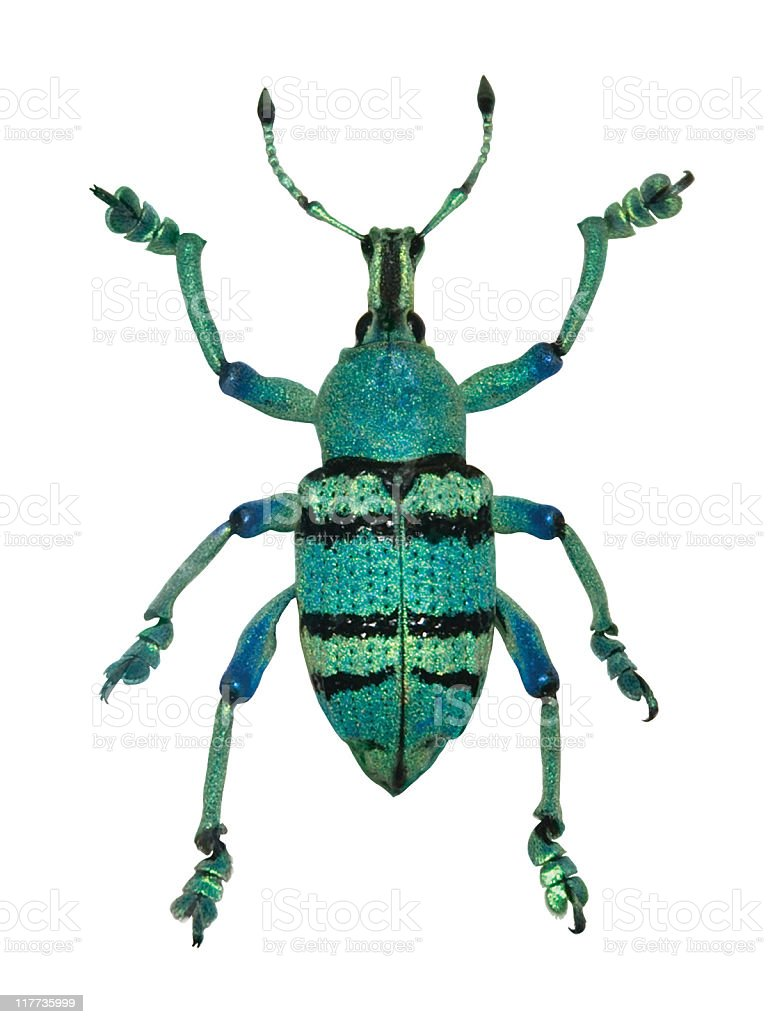Green Beetle royalty-free stock photo