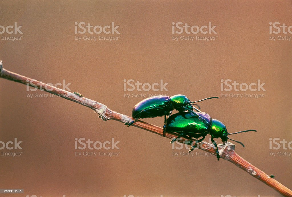 Green beetles on a branch stock photo