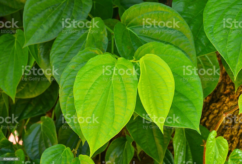 green betel leaf on the tree for background stock photo