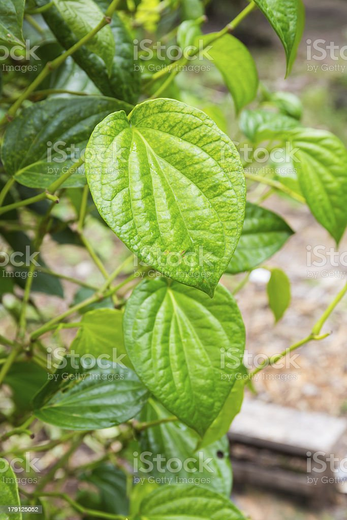 Green betel leaf royalty-free stock photo