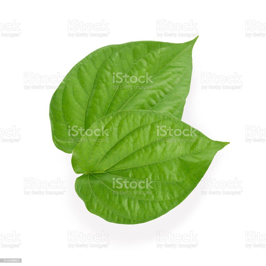 Green betel leaf stock photo