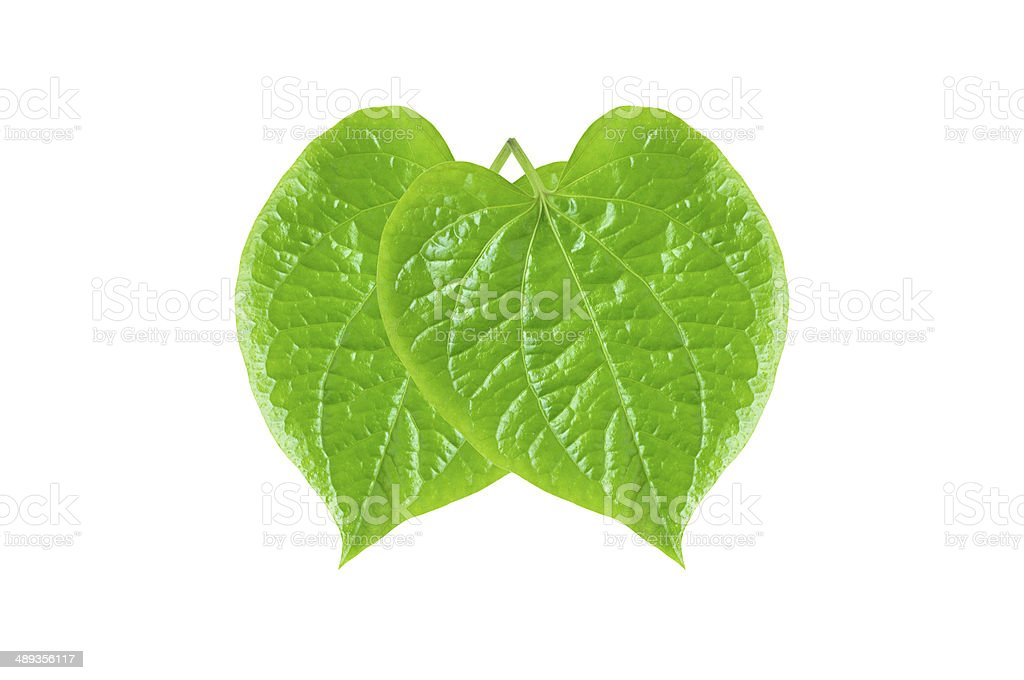 Green Betel or Piper Betle leaves stock photo