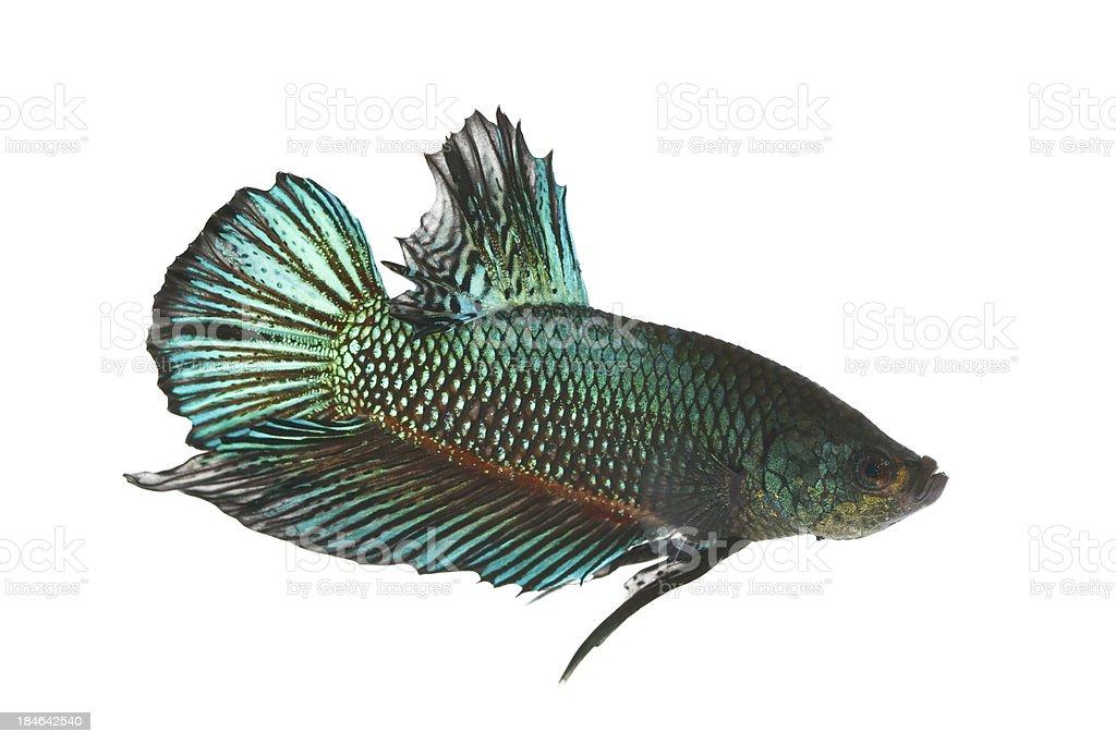 Green betta fish royalty-free stock photo