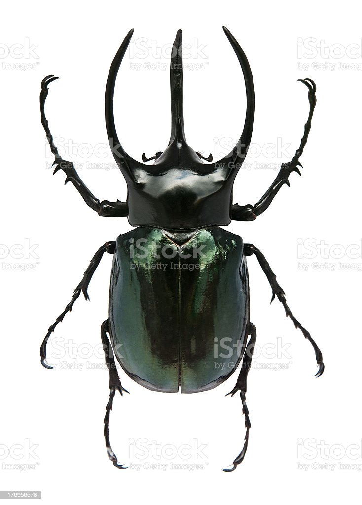 Green, big-horned beetle on a white background royalty-free stock photo