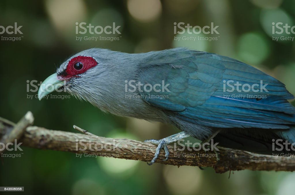 Green billed Malkoha in nature stock photo