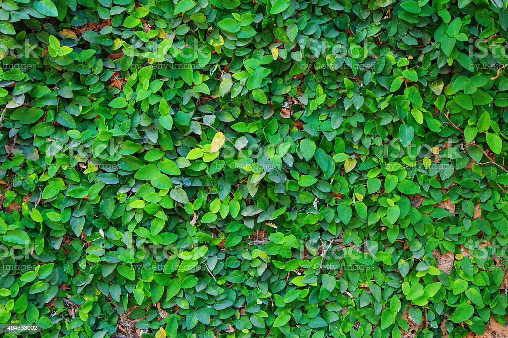 green bindweed background royalty-free stock photo