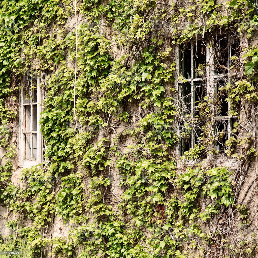 Green bindweed leaves on an old building facade stock photo