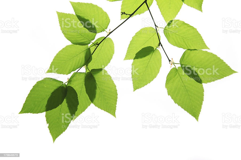 Green birch tree leaves isolated on white stock photo
