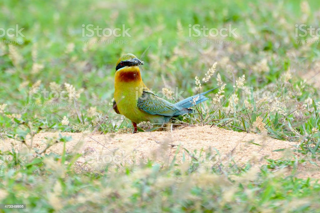 Green bird (Blue tailed Bee eater) eating dragonfly royalty-free stock photo