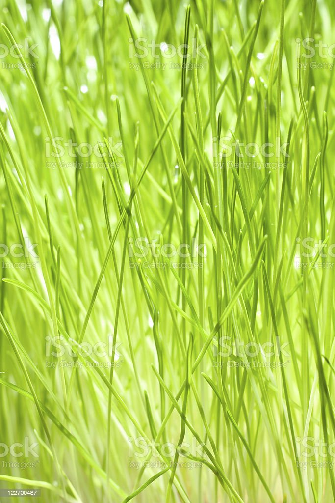 Green Blades of Grass royalty-free stock photo