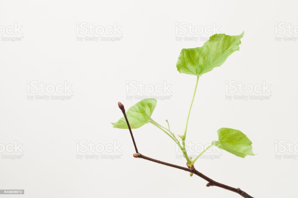 green blossoming leaves on the branches stock photo