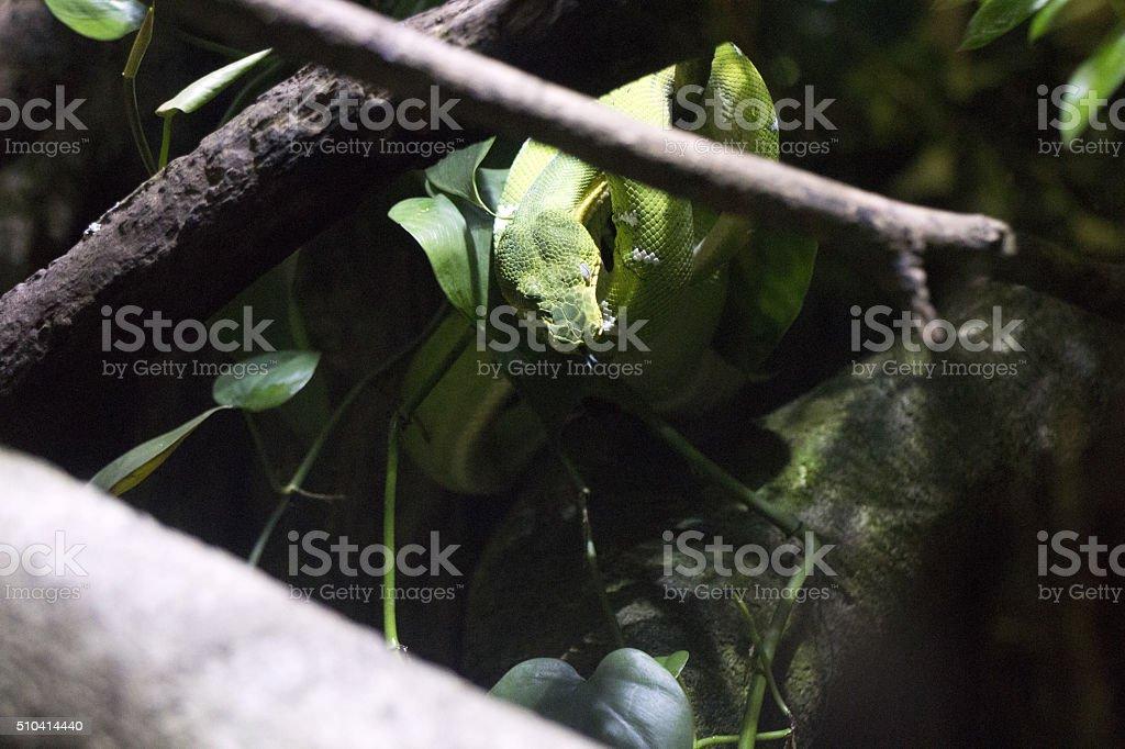 Green Boa Constrictor stock photo