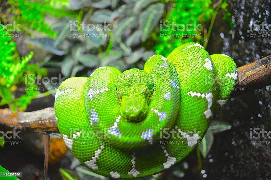 Green Boa stock photo