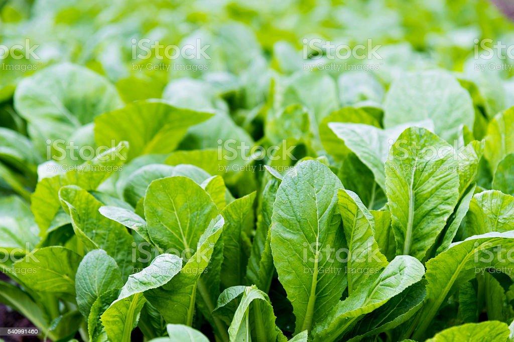 Green bok choy in farm stock photo