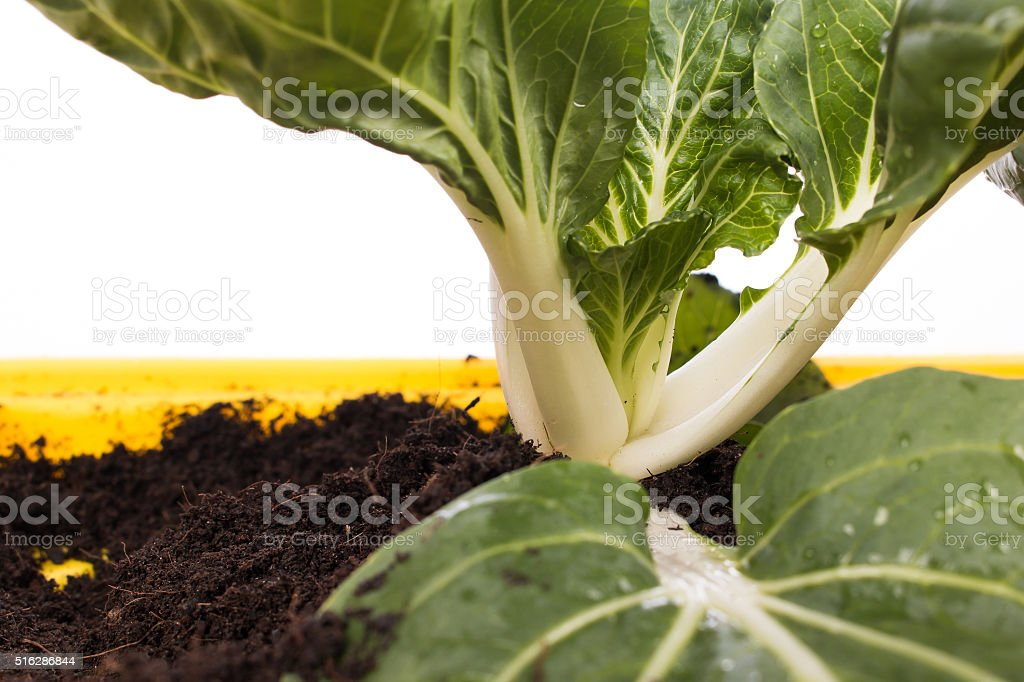 green bok choy vegetable in pot stock photo