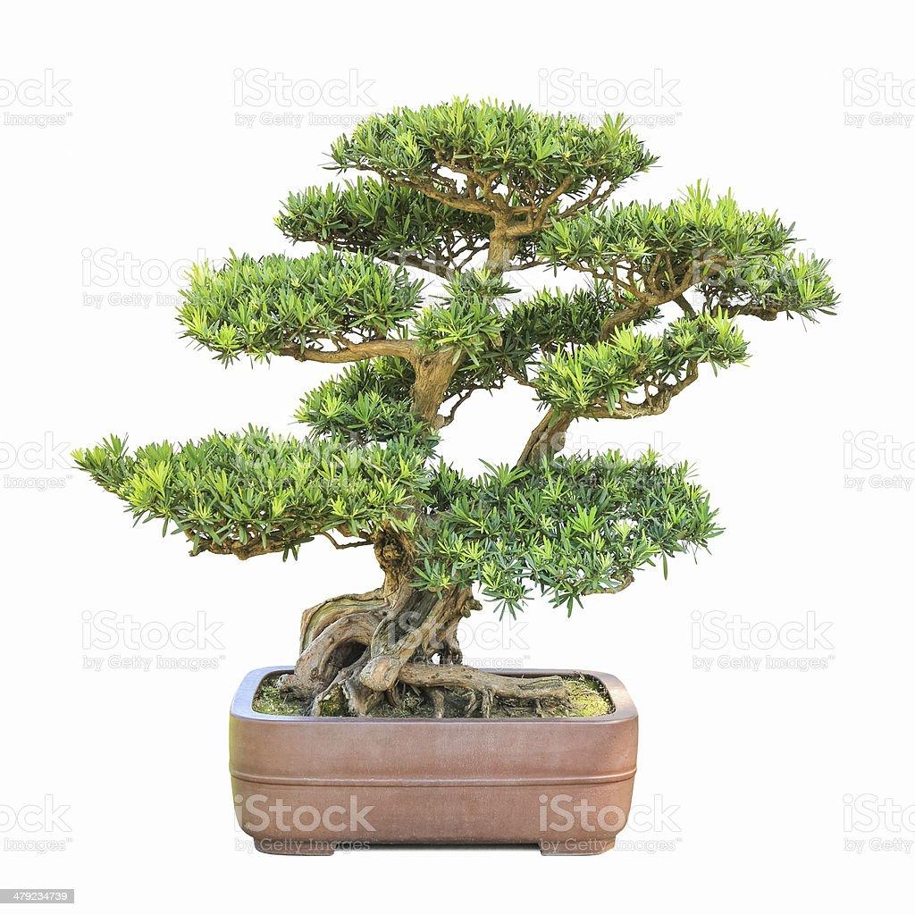 green bonsai elm tree stock photo