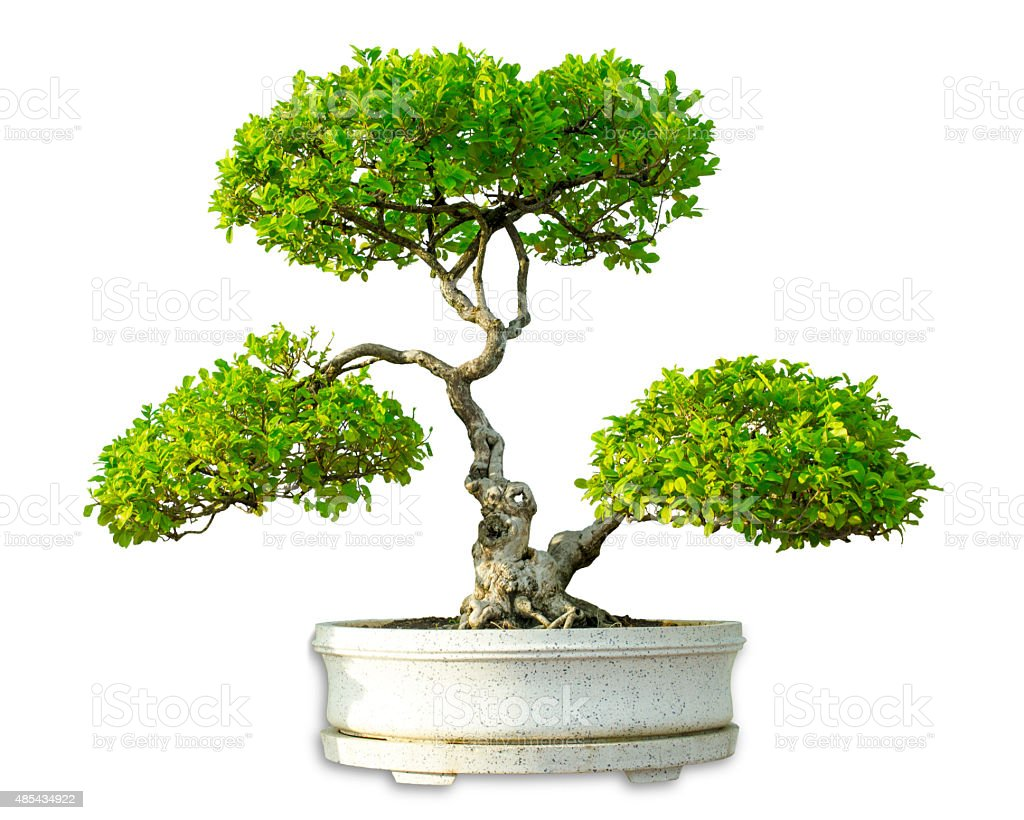 Green bonsai tree isolated on white background royalty-free stock photo