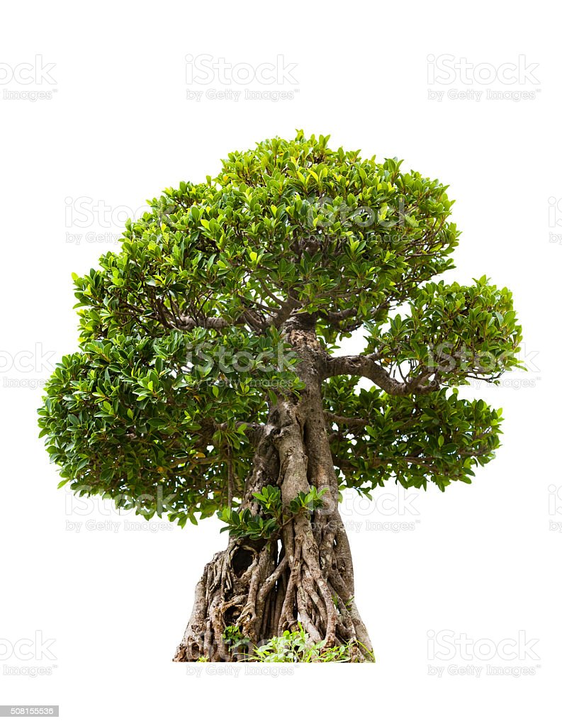 Green bonsai tree of banyan, isolated on white background stock photo