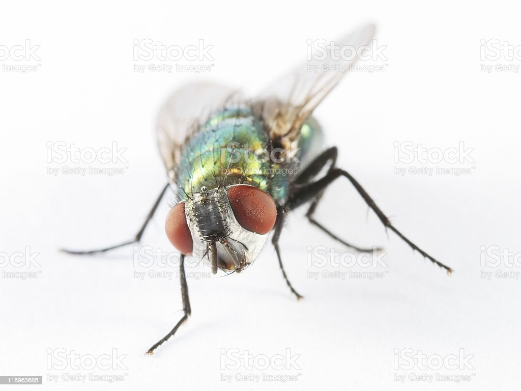Green bottle fly 01 royalty-free stock photo