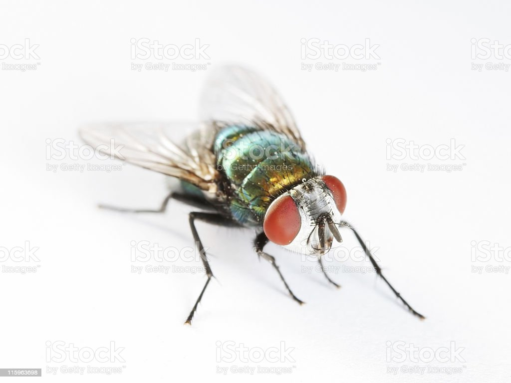 Green bottle fly 02 royalty-free stock photo