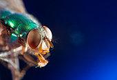 Green bottle fly macro - Calliphoridae