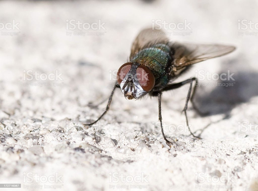 Green Bottle Fly royalty-free stock photo