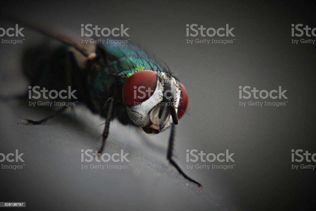 Green Bottle Fly stock photo