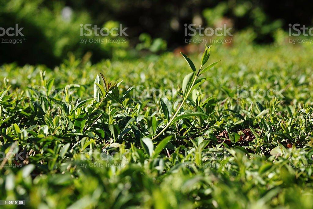 Green boxtree royalty-free stock photo