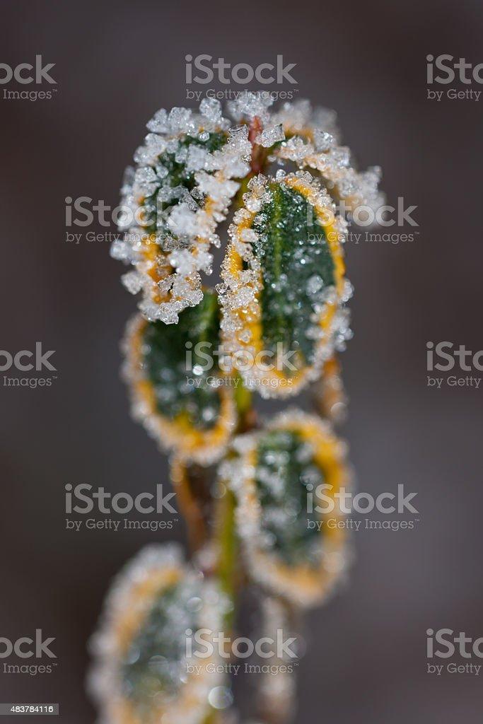 green branch in hoarfrost stock photo