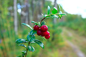 green branch of cowberry with red berries