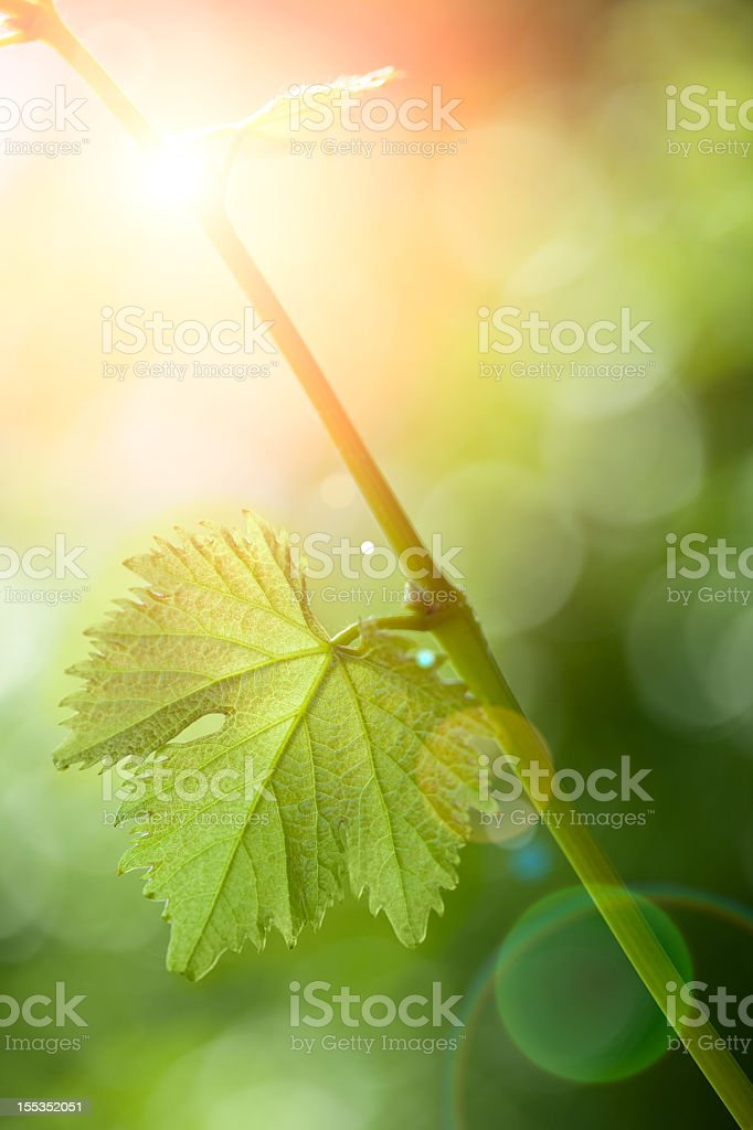 A green branch with one leaf and the sun shining behind it stock photo