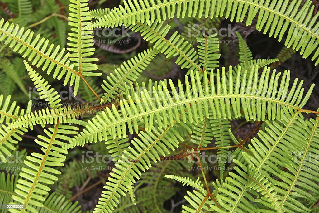 Green branches of fern royalty-free stock photo