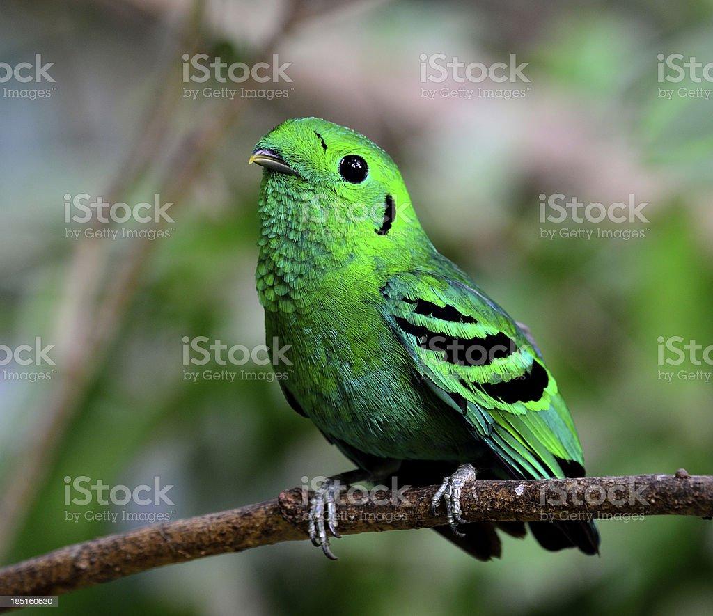 Green Broadbill, bird in vivid color, calptomena viridis, royalty-free stock photo