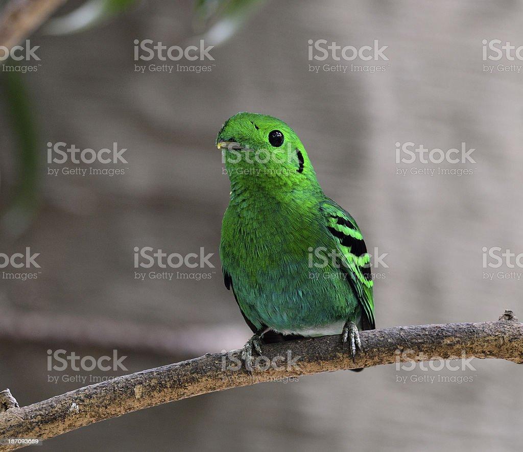 Green Broadbill, bird in vivid olor, calptomena viridis, royalty-free stock photo