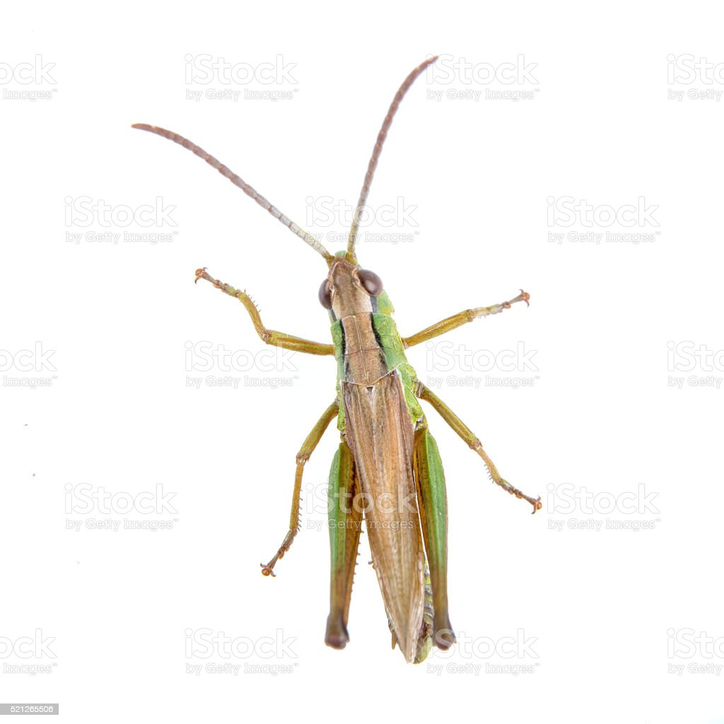 Green brown grasshopper on a white background stock photo