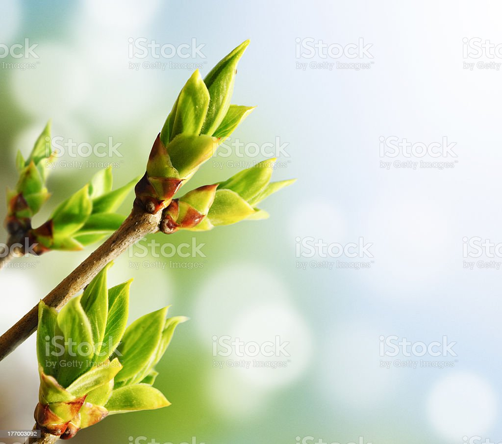 Green Bud stock photo