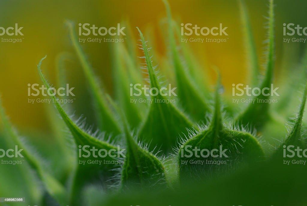 Zielony bud słonecznika Zbliżenie tło zbiór zdjęć royalty-free