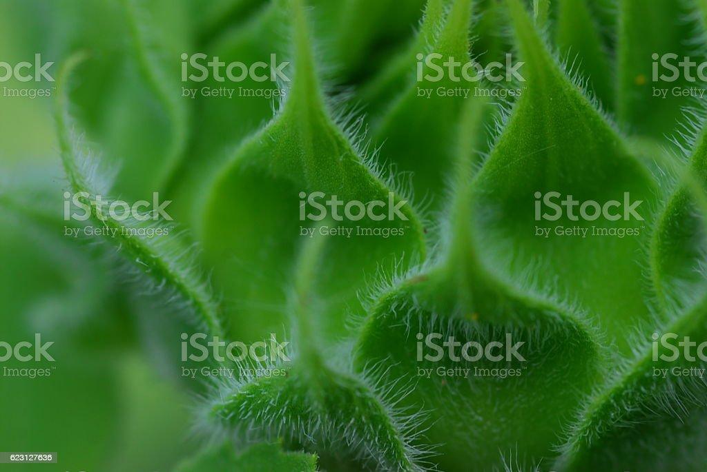 Zbliżenie zielony bud słonecznika zbiór zdjęć royalty-free