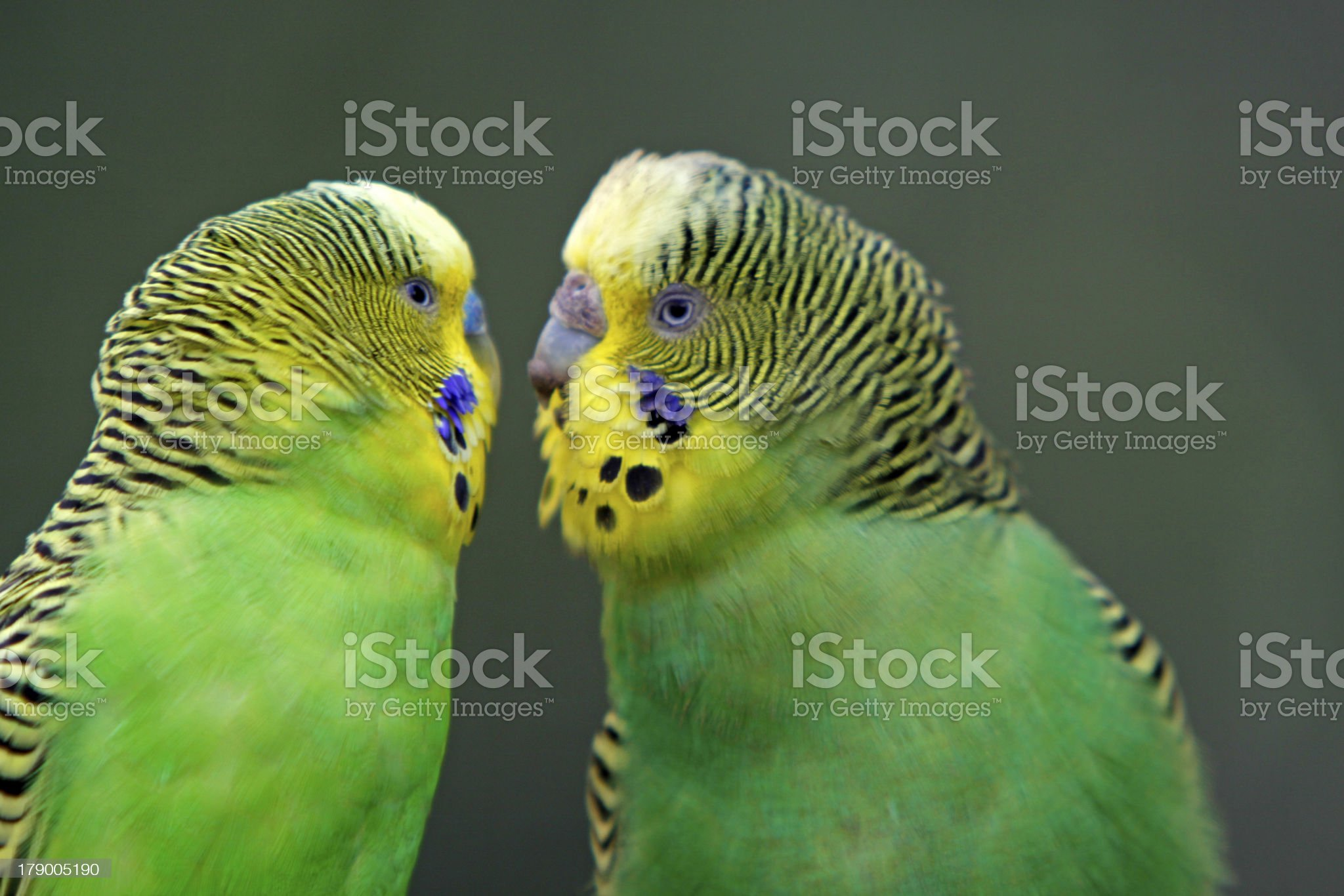 Green budgies royalty-free stock photo