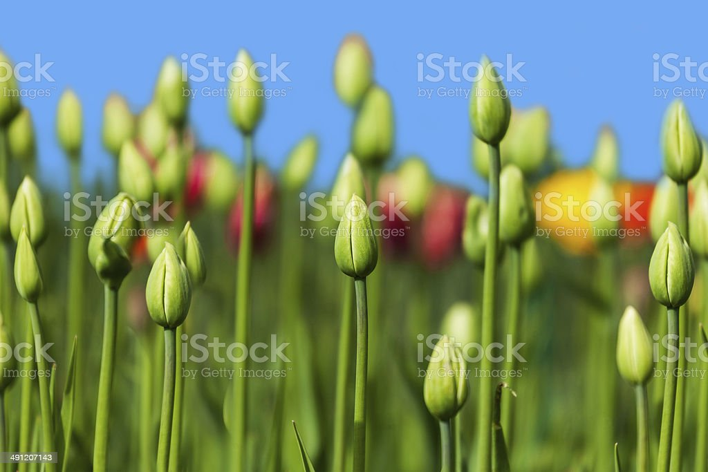 green buds of tulips royalty-free stock photo