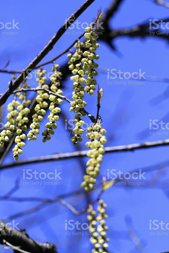 Green Buds royalty-free stock photo