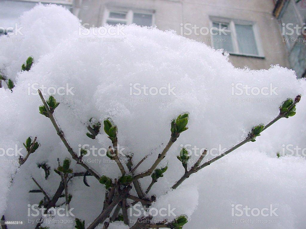bourgeons verts sous la neige. photo libre de droits