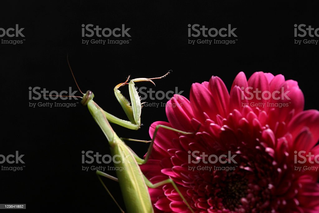 Green bug on a flower royalty-free stock photo