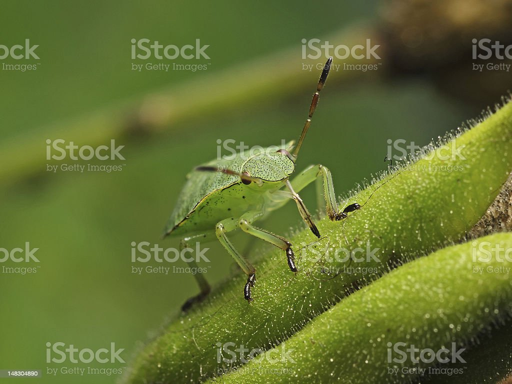 Green Bug (Palomena prasina) royalty-free stock photo