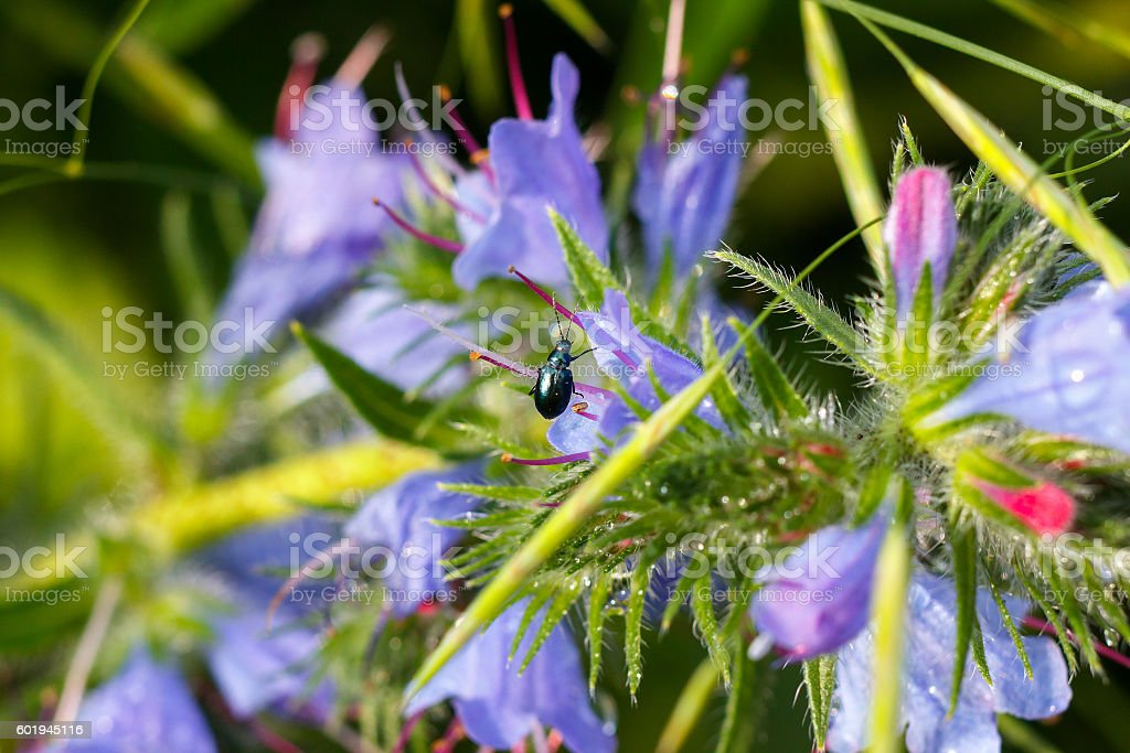 Green bug sitting on a blue wildflowers. Floral background stock photo