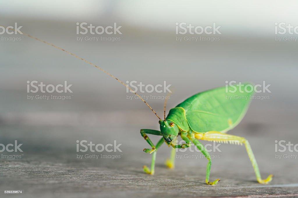 Green bush cricket or long-horned grasshopper on wooden floor stock photo