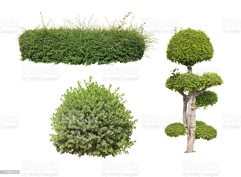 green bush isolated o stock photo