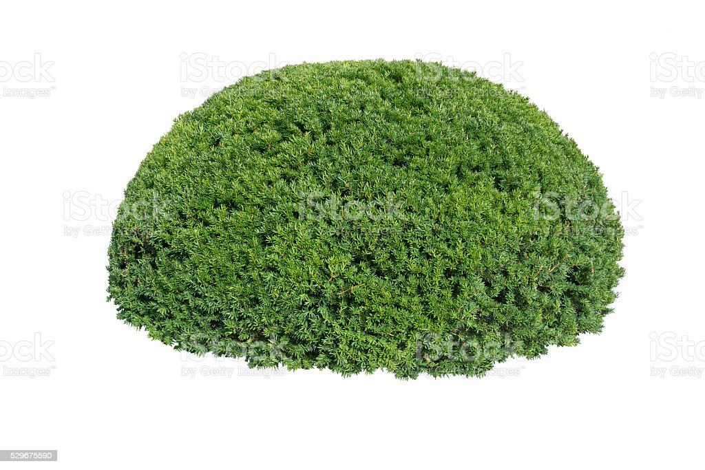 Green bush isolated on white background stock photo