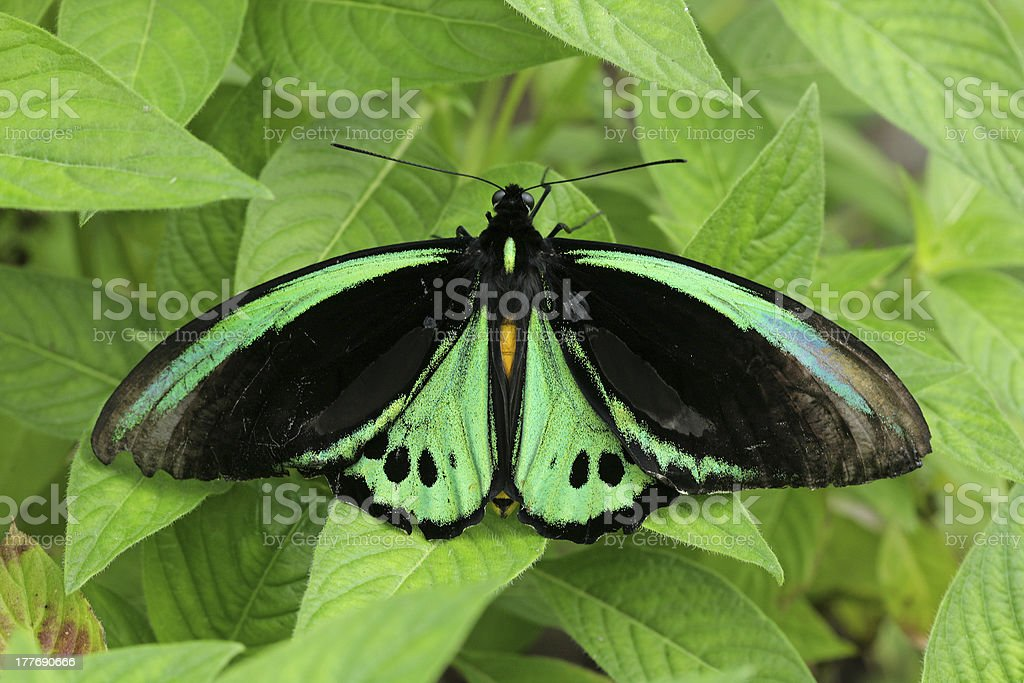 Green butterfly on leaves royalty-free stock photo